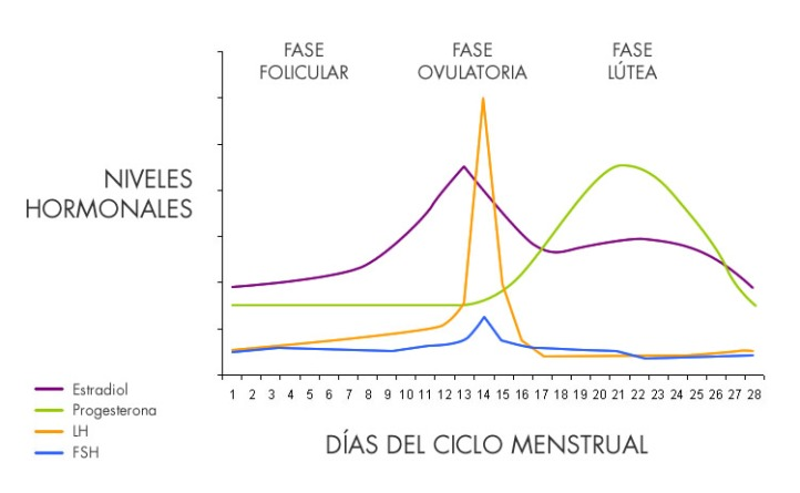 fases-ciclo-menstrual-soy